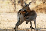 Impala - Mana Pools Zimbabwe