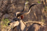 Kudu - Mana Pools Zimbabwe